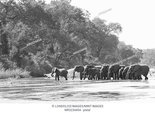 Loxodonta africana, herd drinking on the riverbank at Sand River