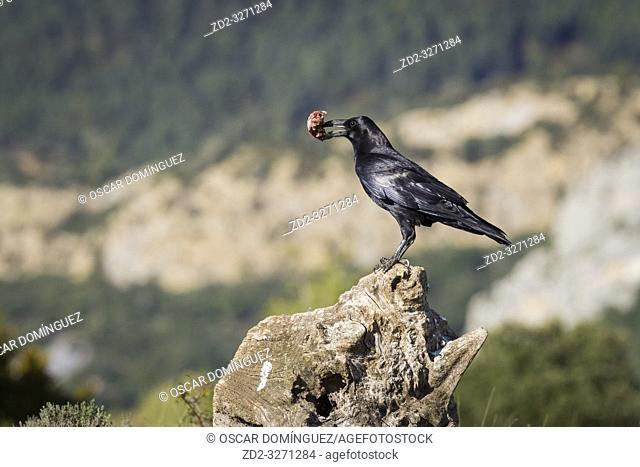 Common Raven (Corvus corax) perched on stump with food on bill. Pre-Pyrenees. Lleida province. Catalonia. Spain