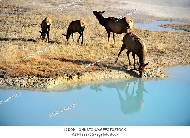 Elk (Cervus elaphus) Females and calves in the West Thumb geyser basin, drinking from a hot spring pool, Yellowstone NP, Wyoming, USA