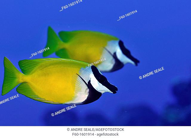 Pair of foxface rabbitfish, Siganus unimaculatus, Pohnpei, Federated States of Micronesia