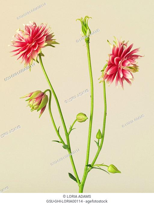 Double Pink Nora Barlow Columbine, Aquilegia vulgaris Nora Barlow, against Beige Background