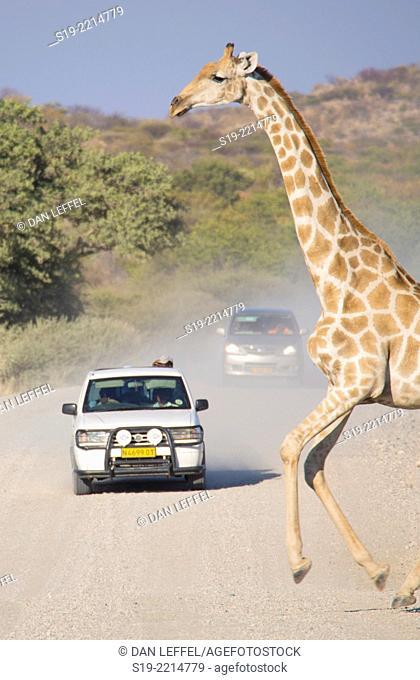 Namibia, giraffe crossing dirt road