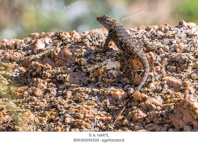 desert spiny lizard (Sceloporus magister), in its habitat, USA, Florida, Pinnacle Peak