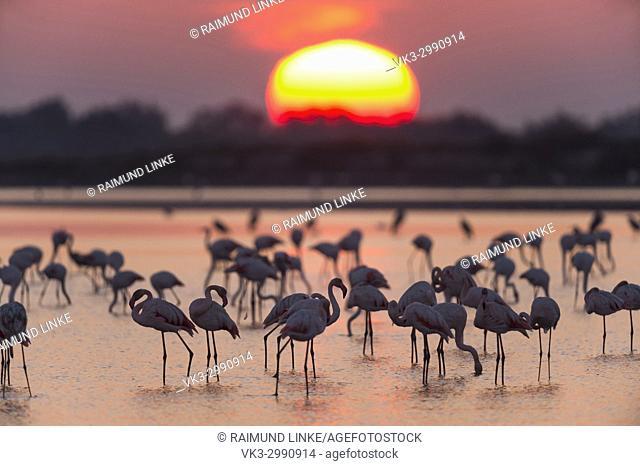 European Flamingo, Great Flamingo, Phoenicopterus roseus, at Sunrise, Saintes-Maries-de-la-Mer, Parc naturel régional de Camargue, Languedoc Roussillon, France