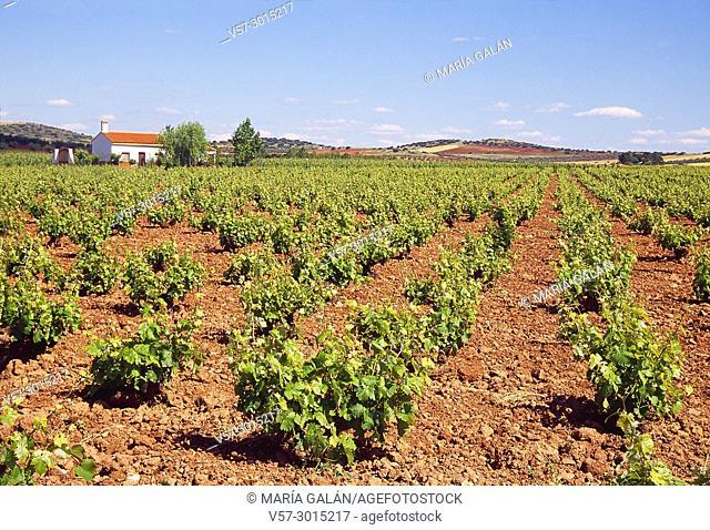 Vineyard. Valdepeñas, Ciudad Real province, Castilla La Mancha, Spain
