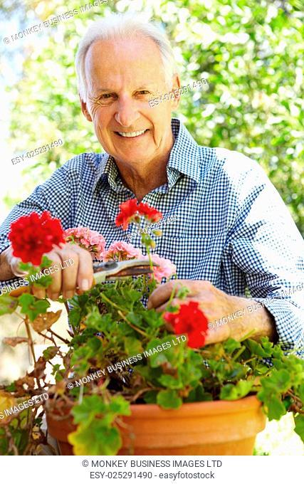 Elderly man pruning geraniums