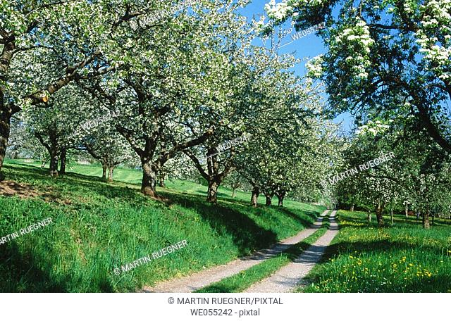 Way through cherry-trees and pear trees at blossom. Spring. Baden Wurttemberg. Germany