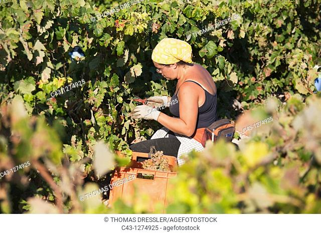 Spain - Vintage in a vineyard not far from the town of Jerez de la Frontera  In Andalucía the harvest of the common grape vine Vitis vinifera takes place in...