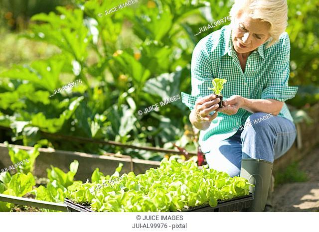 Senior woman planting lettuce