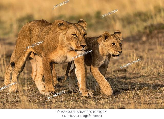 lioness walking with her cub. Masai Mara National Reserve, Kenya