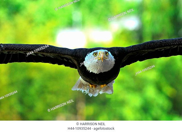 Bald Eagle gliding low with outstretched wings