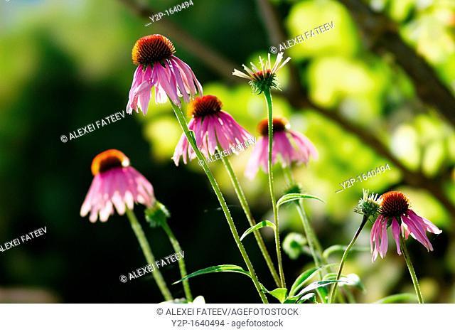 Echinacea purpurea, or purple coneflower