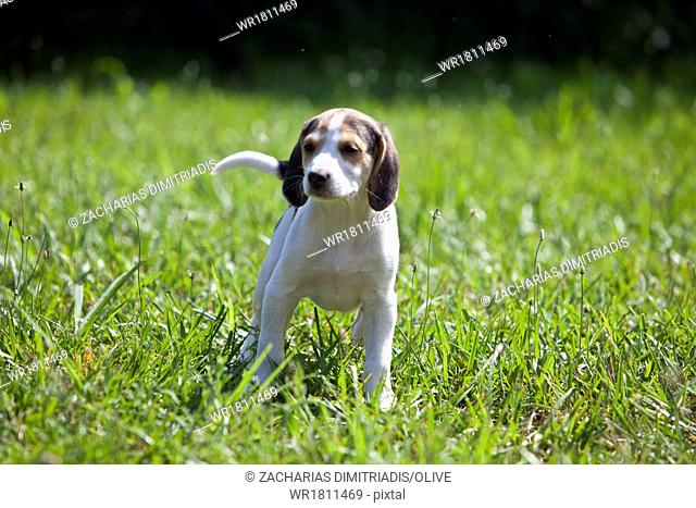 Hunting dog puppies playing in field
