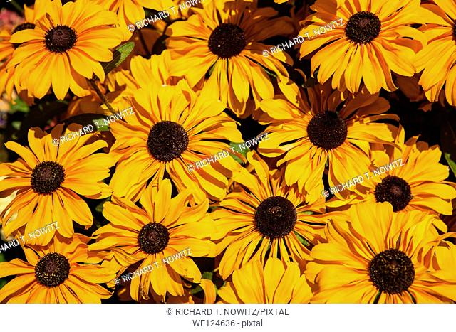 A Bouquet of Black eyed susan Rudbeckia hirti flowers