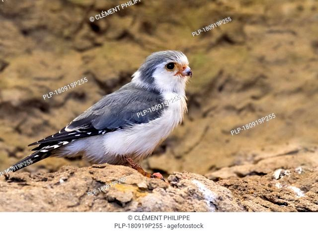 African pygmy falcon (Polihierax semitorquatus) native to eastern and southern Africa