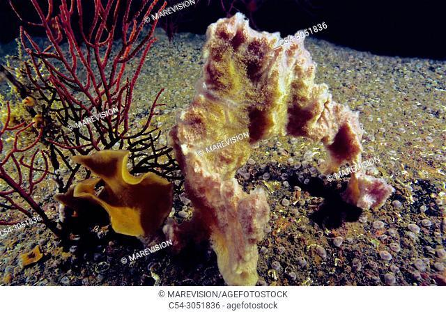 Sponge (Haliclona sp. ). Eastern Atlantic. Galicia. Spain. Europe