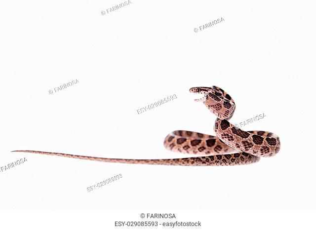 Many Spotted Cat Snake, Boiga multomaculata, on white background
