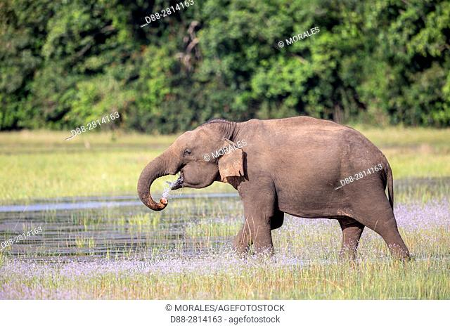 Sri Lanka, Northwest Coast of Sri Lanka, Wilpattu national patk, Sri lankan elephant (Elephas maximus maximus), eating aquatic vegetation in the marsh