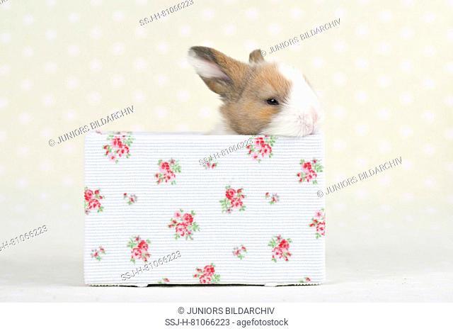 Dwarf Lop-eared Rabbit. Baby (11 days old) in a box with flower print. Studio picture. Germany