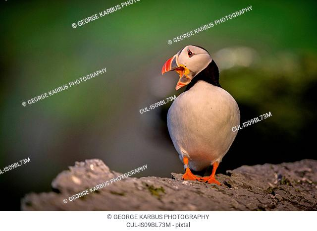 Puffin (Fratercula arctica), resting on rocks, Portmagee, Kerry, Ireland