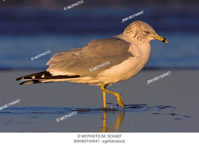ring-billed gull (Larus delawarensis), wades through shallow water in evening light, USA, Florida