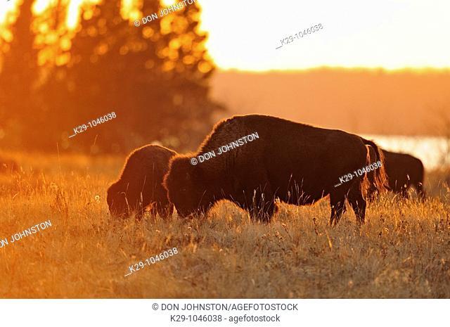 Plains bison Bison bison grazing