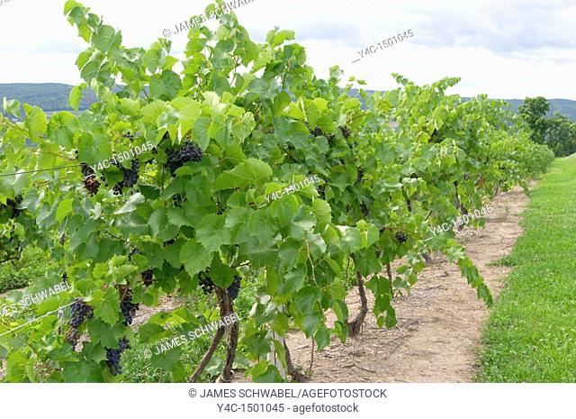 Grape vineyards in the Finger Lakes region of New York State