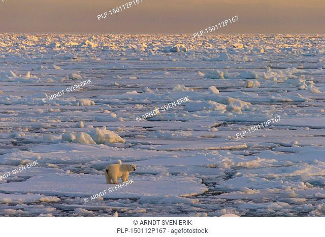 Polar bear (Ursus maritimus / Thalarctos maritimus) walking on pack ice at sunset, Svalbard, Norway