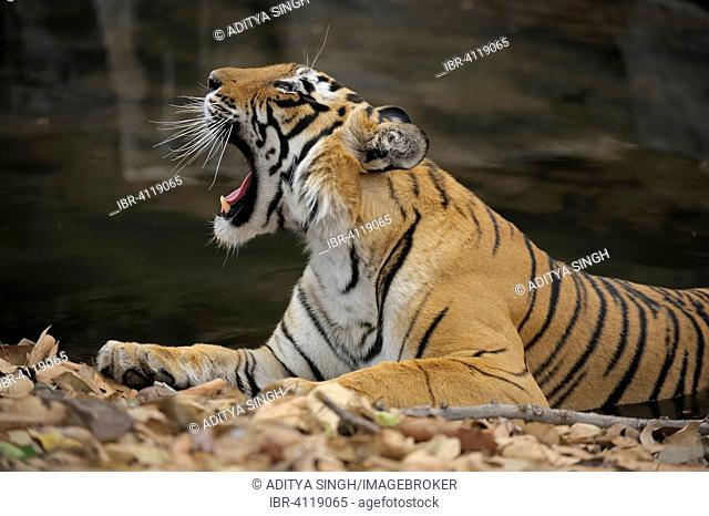 Bengal or Indian tiger (Panthera tigris tigris), tigress resting and yawning, Ranthambhore National Park, Rajasthan, India