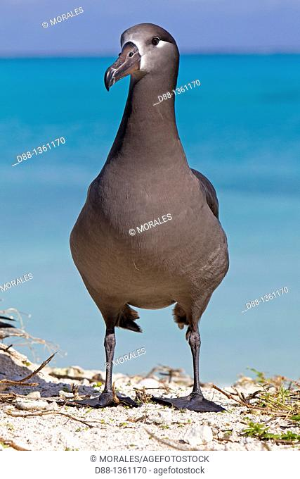 Hawaï , Midway , Eastern Island , Black-footed Albatross  Phoebastria nigripes