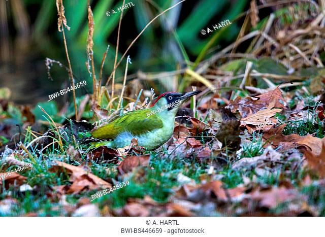green woodpecker (Picus viridis), sitting on the ground, searching for ants, Germany, Bavaria, Isental
