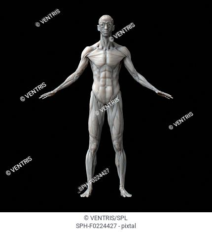 Human musculature, illustration