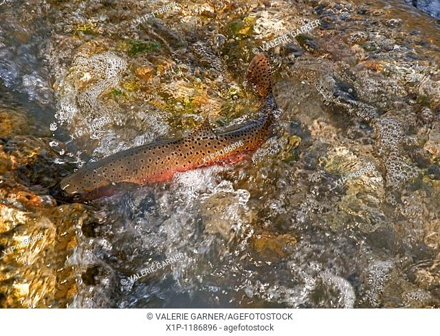 This photo shows a large Lahontan cutthroat trout fish spawning in a creek with lots of bubbles and motion in the water as he's swimming upstream
