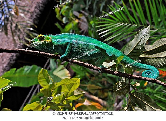 Africa, Madagascar, Nosy Komba, male panther chameleon, Furcifer Pardalis