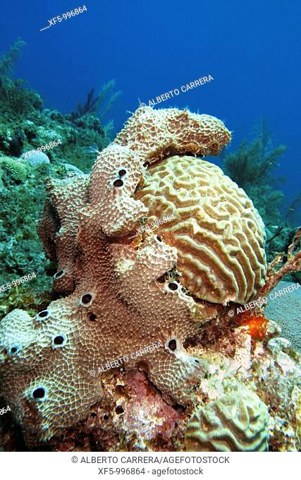 Underwater landscape, Hard coral and sponge, Brain coral, Coral Reef, Caribbean, Isla de la Juventud, Cuba