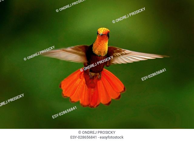 Red and yellow Ruby-Topaz Hummingbird, Chrysolampis mosquitus