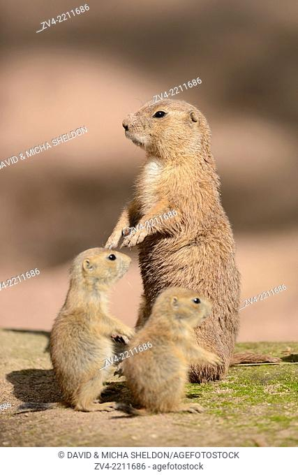 Close-up of a black-tailed prairie dog (Cynomys ludovicianus) mother with her youngsters in spring