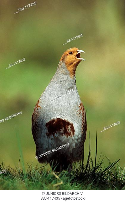 grey partridge - cock on meadow / Perdix perdix