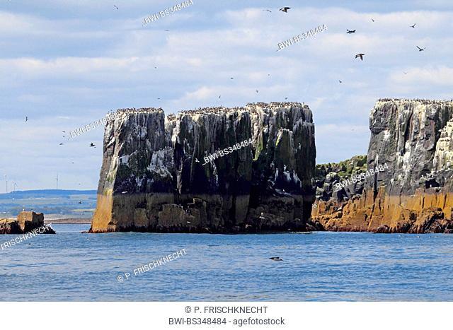 nesting colony at the coast of Farne Islands, United Kingdom, England, Farne Islands