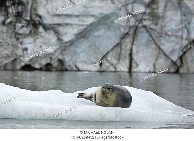 Bearded seal Erignathus barbatus hauled out and resting on the ice near Storpollen Glacier in the Svalbard Archipelago, Barents Sea, Norway