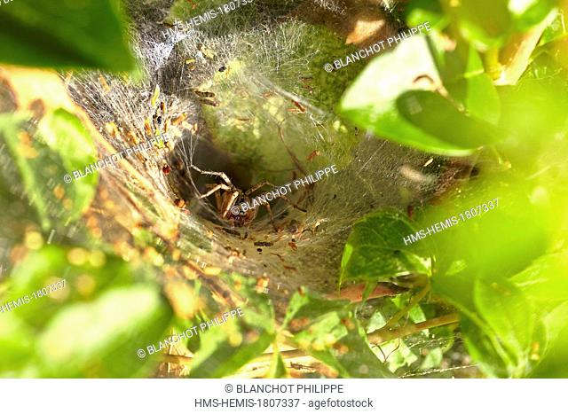 France, Morbihan, Araneae, Agelenidae, Labyrinth Spider (Agelena labyrinthica), at the entrance of its funnel-shaped retreat web