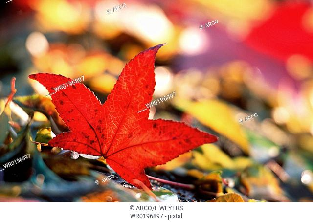 Maple, leaf, in, autumn,Acer, palmatum
