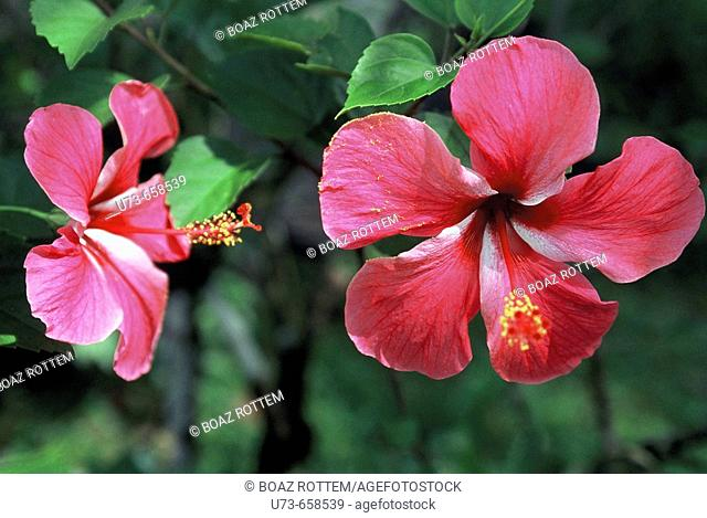 Colorful flowers in the rainforest of Pohnpei