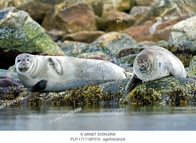 Two common seals / harbour seals (Phoca vitulina) resting on rocky coast, Svalbard / Spitsbergen, Norway