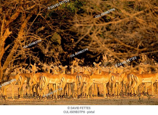 Watchful herd of impala (Aepyceros melampus), Mana Pools National Park, Zimbabwe