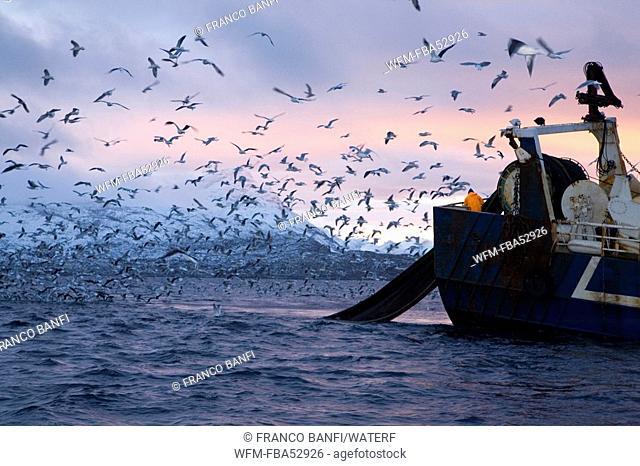 Sea Gulls surround Fishing Boat, Larus sp., Solvaer, Vestfjord, Lofoten, Norway