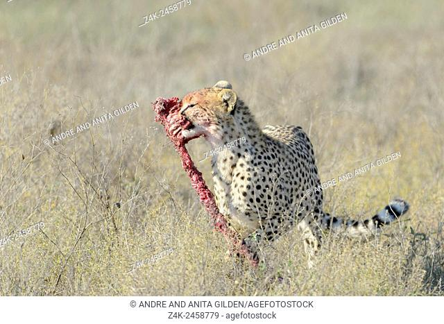 Cheetah (Acinonyx jubatus) walking on savanna, with a piece of prey in his mouth, Ngorongor conservation area, Tanzania