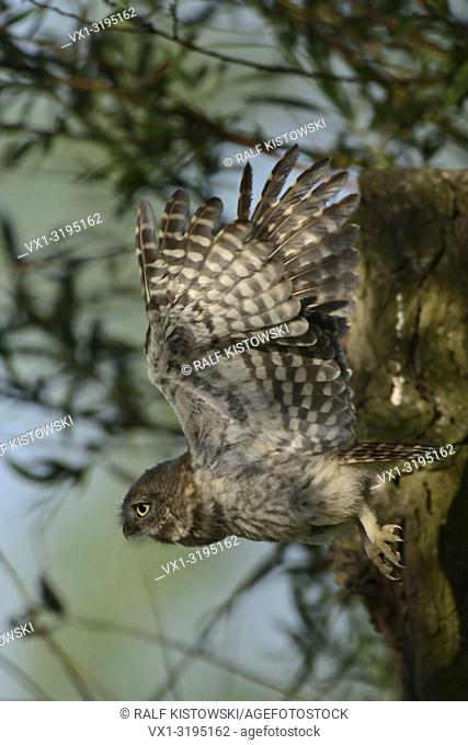Little Owl (Athene noctua), young adolescent, fledgling, flying, in flight, stretched wide open wings, wildlife, Europe