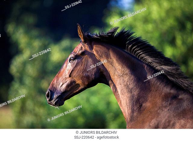 Hanoverian Horse. Portrait of bay gelding with mane flowing. Germany