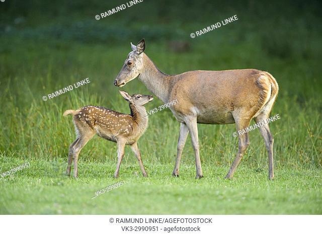 Red deer, Cervus elaphus, Female with Fawn